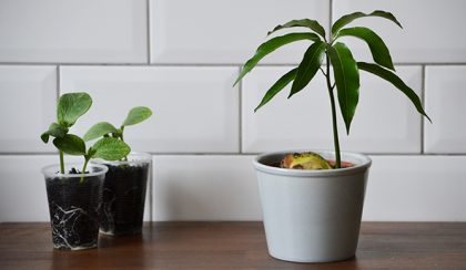A mangó titkos élete – Megjöttek a hokkaidók!
