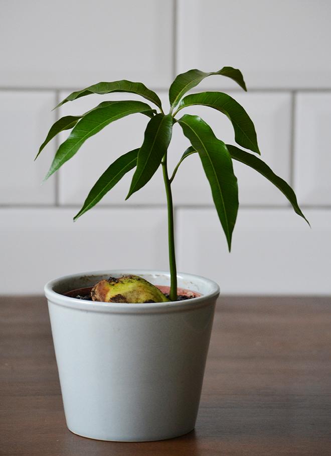 A mangófa/ Fotó: Myreille