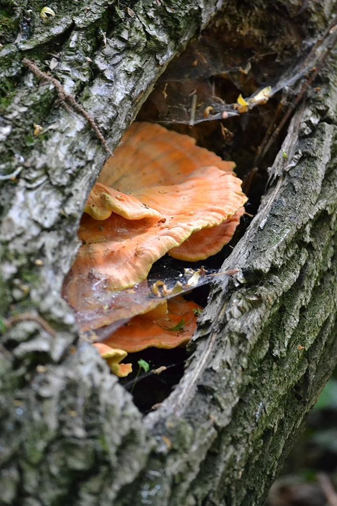 Sárga gévagomba (Laetiporus sulphureus)/Fotó: Myreille