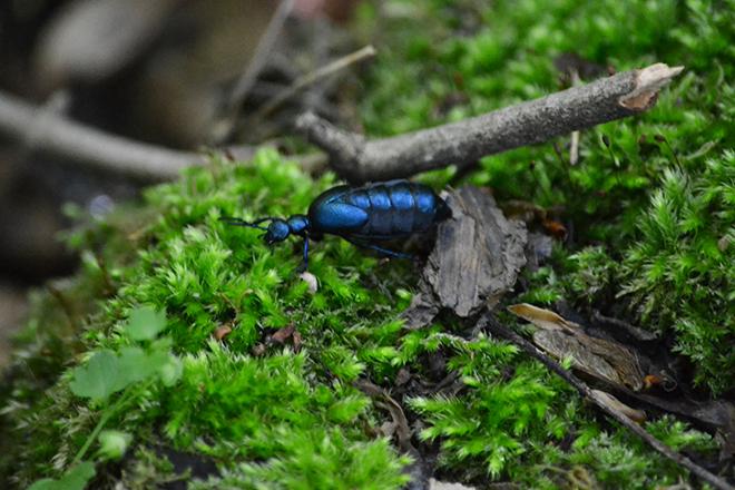 Kék nününke/Fotó: Myreille