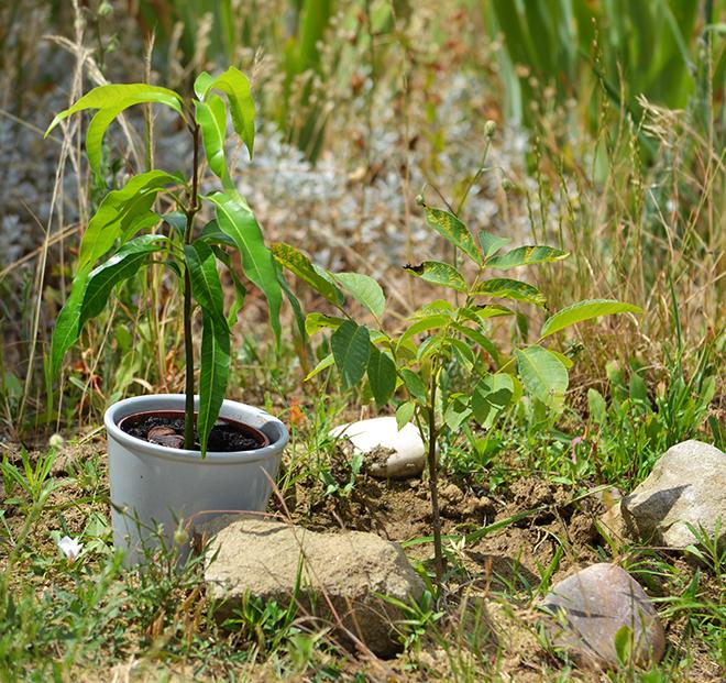 Balra csihatag mangófa, jobbra csihatag diófa. Mindkettő saját nevelés!/Fotó: Myreille