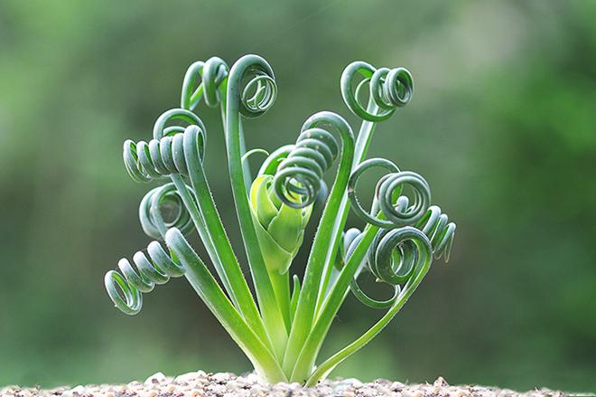 Albuca spiralis/fotó: turn-it-tropical.co.uk