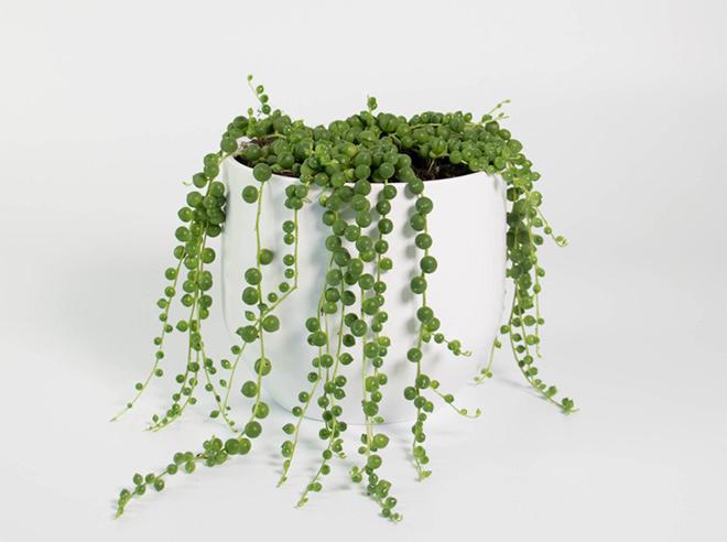 Senecio Rowleyanus/Fotó: plantandpot.nz
