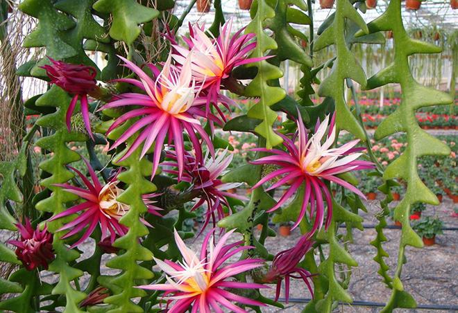 Selenicereus Anthonyanus/Fotó: snaplant.com