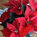 5 tipp, hogy a mikulásvirág hosszú ideig gyönyörű legyen