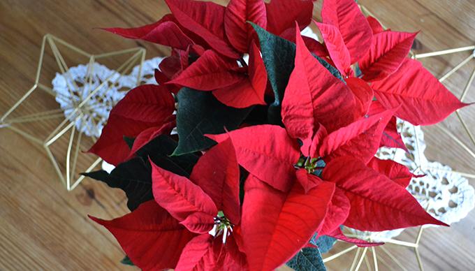Ez a mikulásvirág még nem virágzik. Az apró, jelentéktelen virágok bimbói a piros fellevelek fészkében rejtőznek./Fotó: Myreille