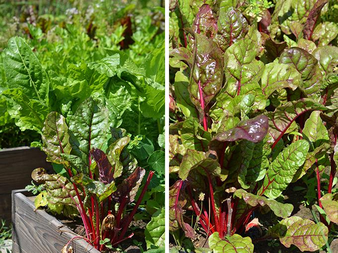 Mángold a kertünkben/Fotó: Myreille