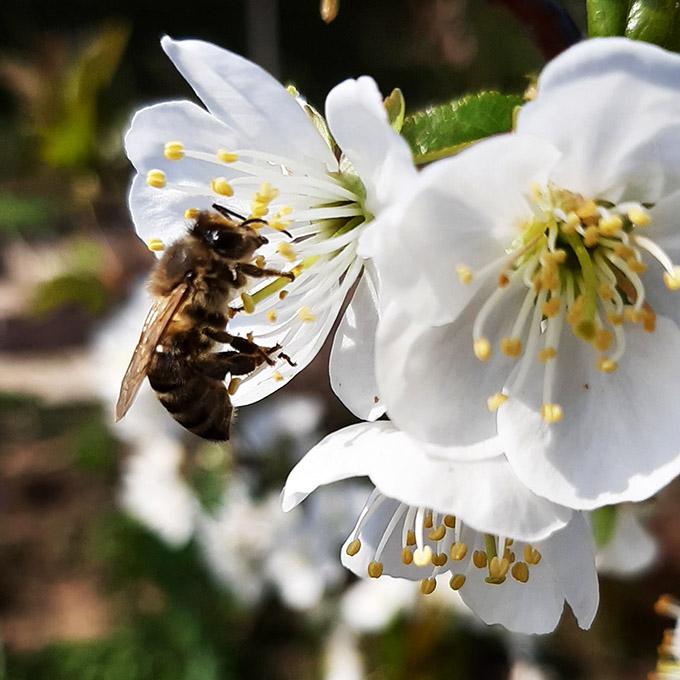 Méhecske a meggyfánkon 2021. tavaszán/Fotó: Myreille