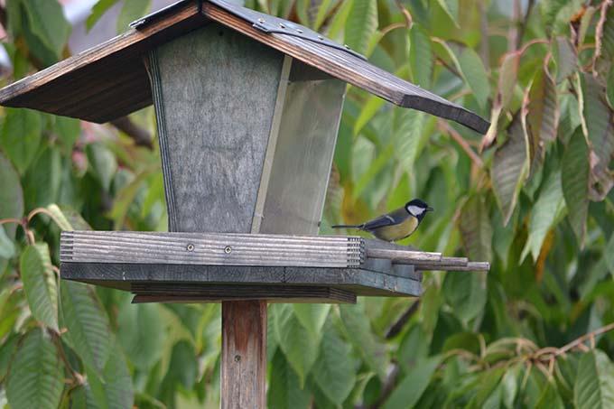 Széncinege a madáretetőben/Fotó: Myreille, 2021.