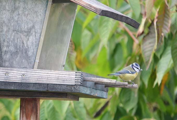 Kékcinege a madáretetőben/Fotó: Myreille, 2021.