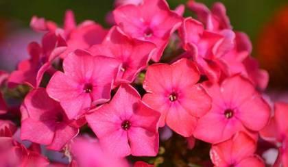 Bugás lángvirág (Phlox) szaporítása, ültetése és gondozása